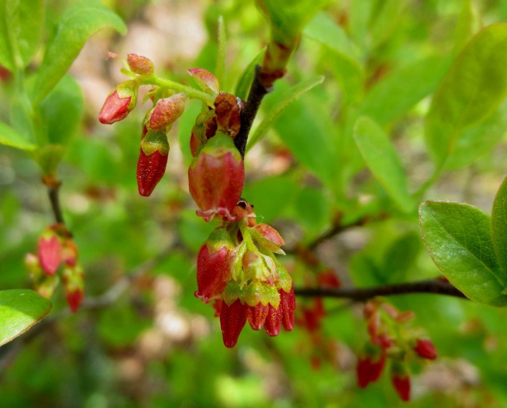 Flowers of black huckleberry, Gaylussacia baccata