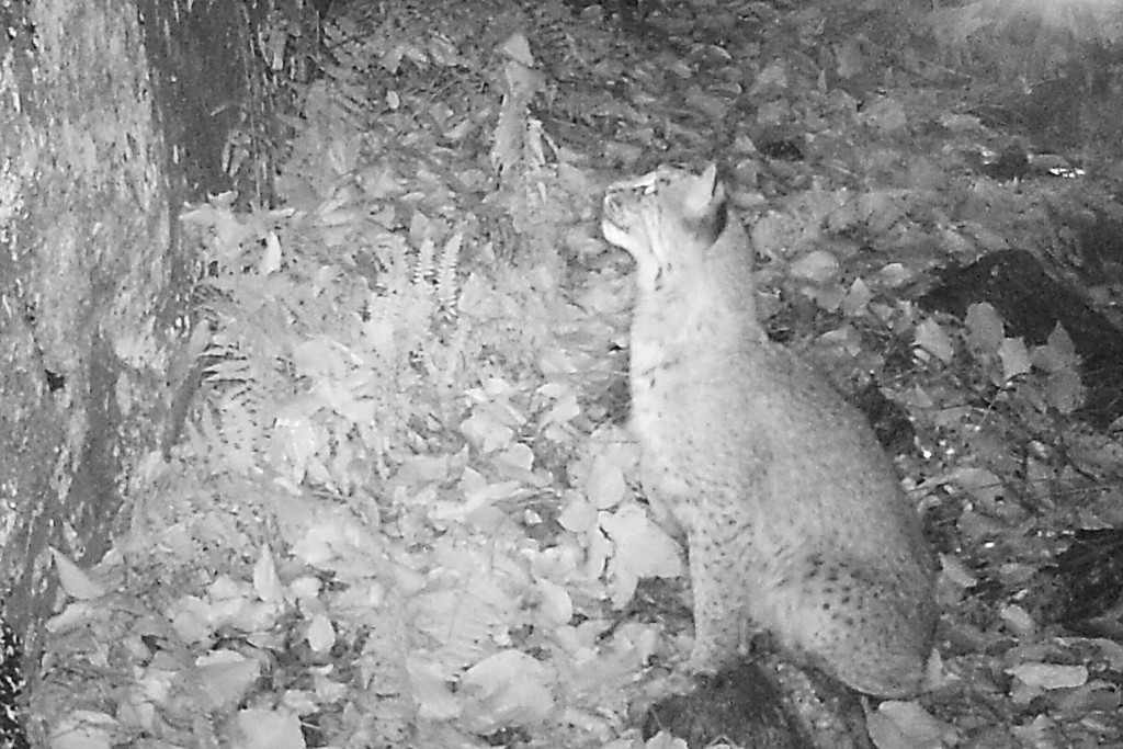 massachusetts bobcat, where to find bobcats, bobcat tracking