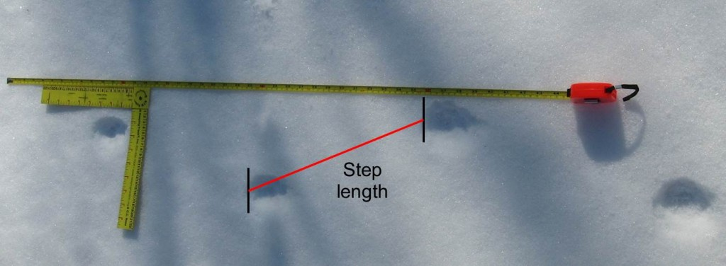 how to measure stride when tracking bobcats
