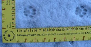 Little round house cat tracks