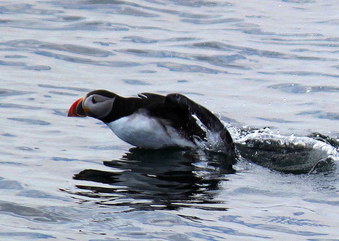 puffin watching in maine
