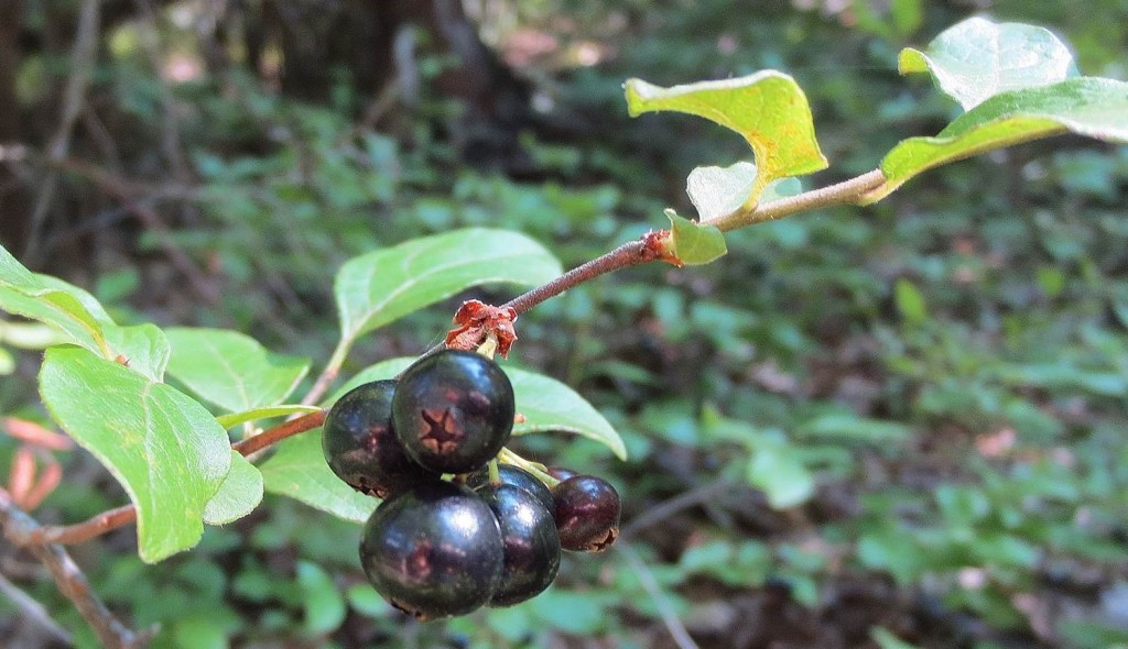ripe black huckleberries on twig