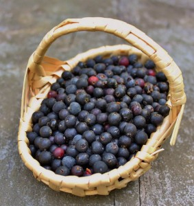 Black Huckleberries (Gaylussacia baccata)