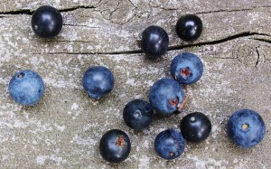 Black huckleberries (G. baccata) and blue huckleberries (G. frondosa)