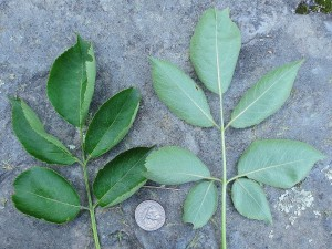 American elderberry leaves with coin placed for scale