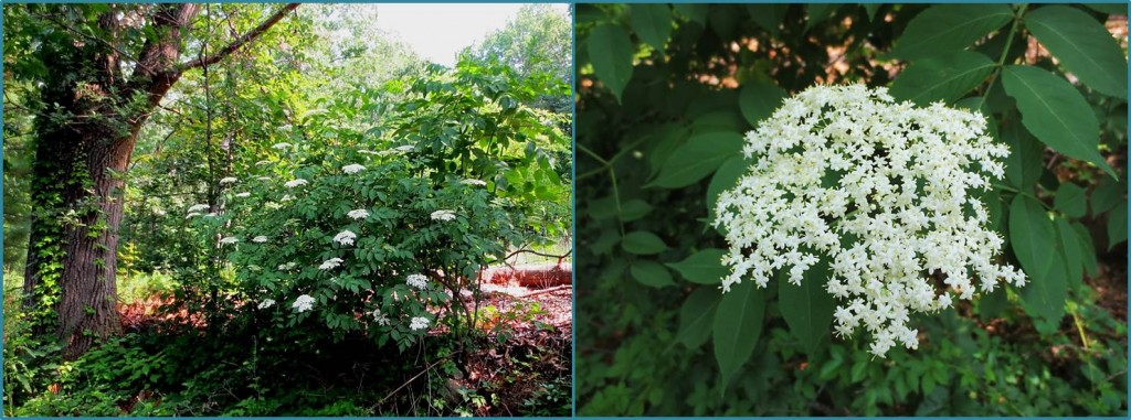 Blooming common elderberry shrub, and closeup of flower cluster. Recognizing these makes foraging for elderberries easier.