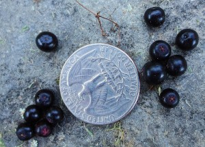 Closeup of American elderberries with coin placed for scale