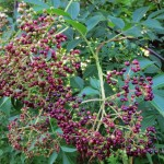Foraging for Elderberries: How to identify it, where to find it, and how to harvest it.