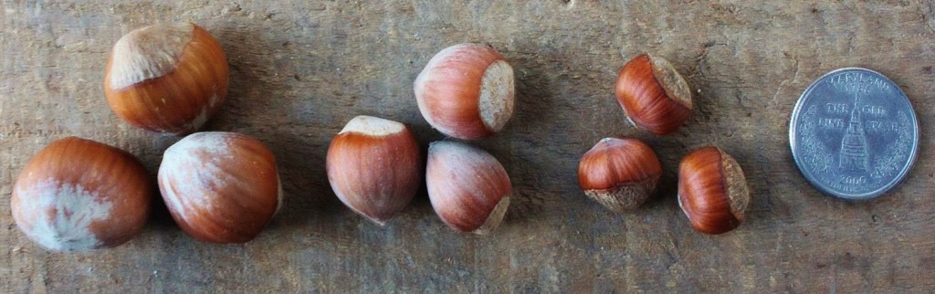 European hazelnuts left, hybrid American x European hazelnuts center, and American hazelnuts right