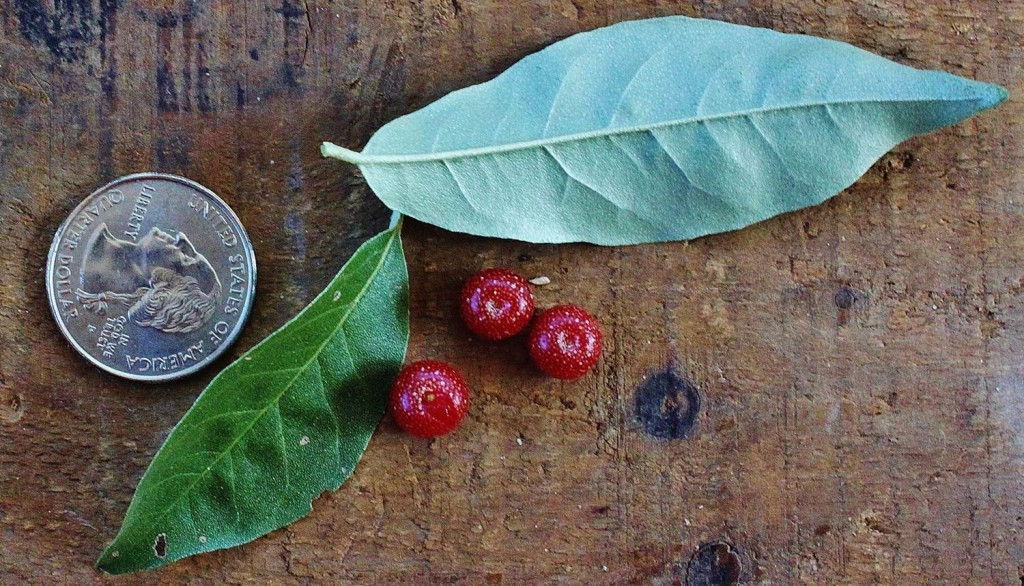 Autumn olive berries and leaves, with quarter for scale