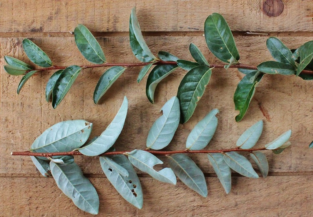 Leaves of Elaeagnus umbellata are rich green above and silvery underneath.