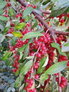 Autumn olive bush loaded with berries