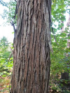 Peeling bark of shagbark hickory tree