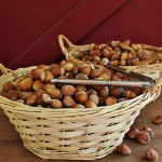 Hazelnuts: Foraging for American and beaked hazelnuts