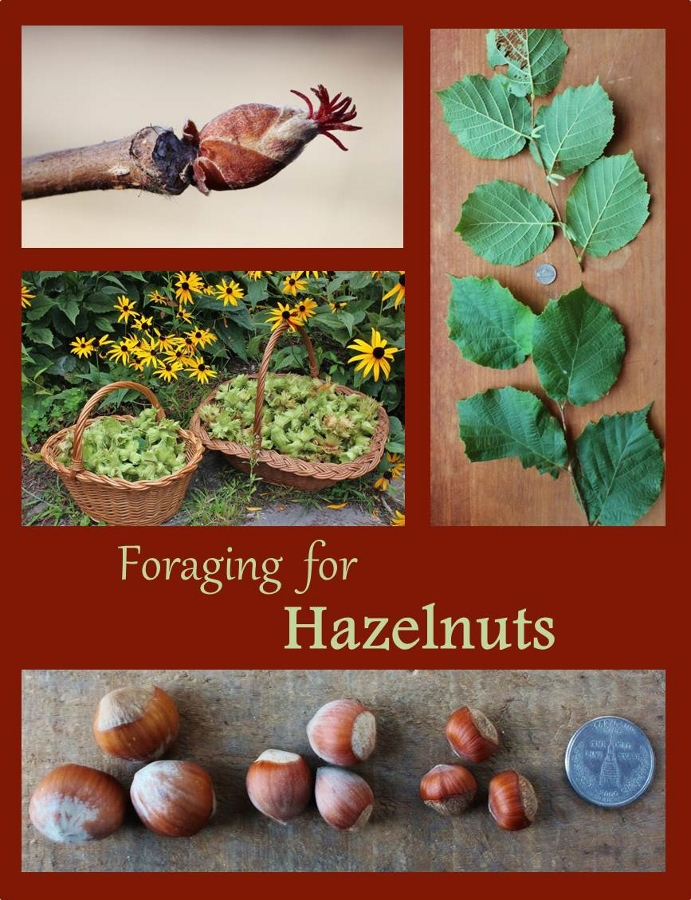 Foraging for Hazelnuts - How to identify, where to find, and how to harvest one of the best wild edibles.