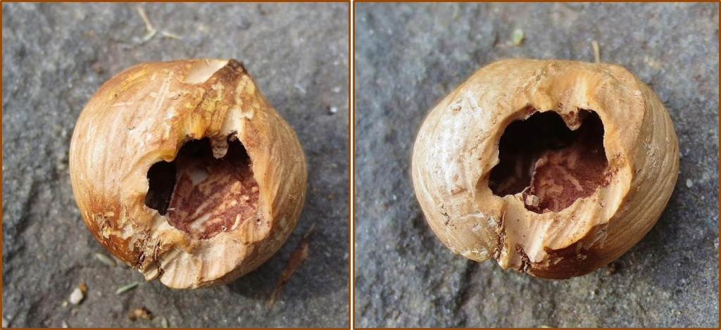 Hickory nut with hole on both sides