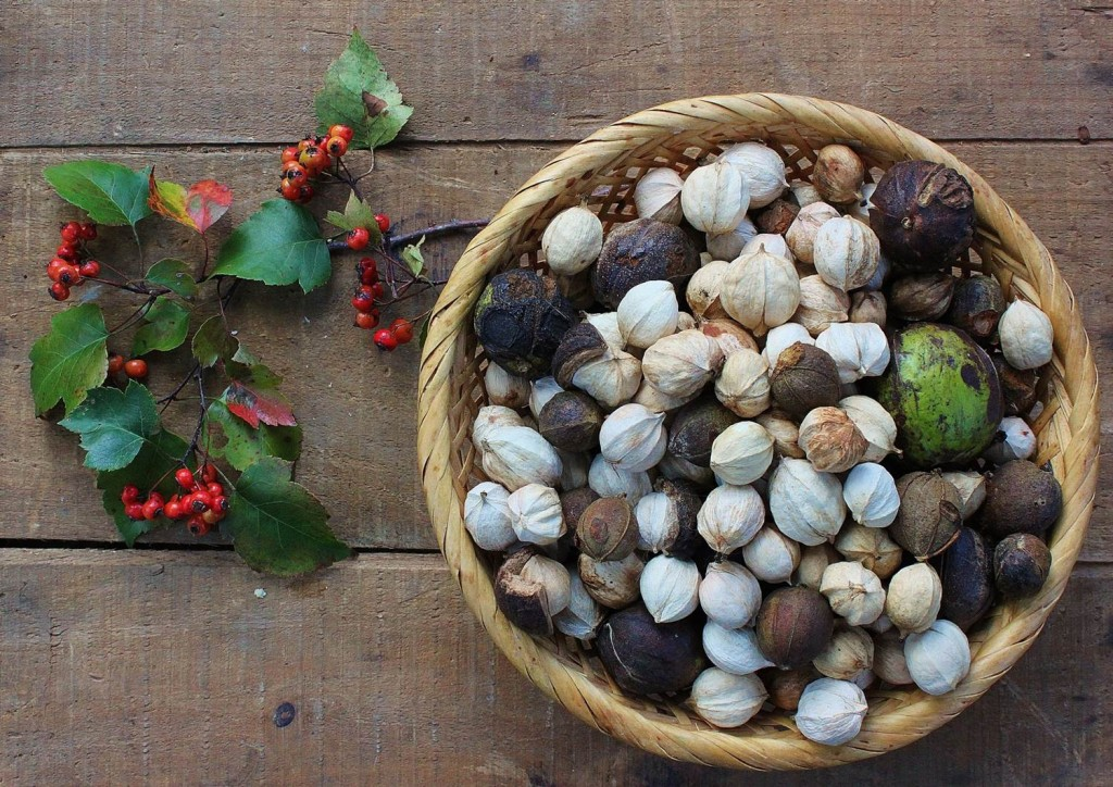 Pignuts and shagbark hickory nuts, with Washington hawthorn