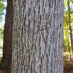 Bark of mature pignut hickory tree