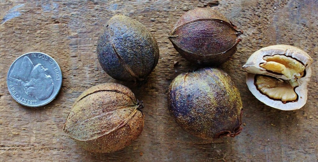 The dry, brown husks of these pignuts remain tightly attached. They fall off in pieces as you crack them.