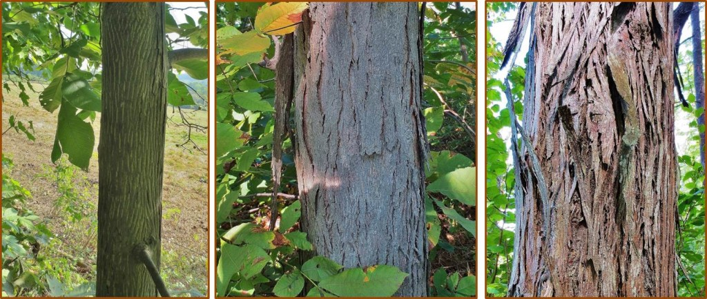 Bark of shagbark hickory trees, on (from left to right) 4 inch, 10 inch, and 16 inch diameter trunks. All three trees bore a lot of nuts.