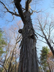 Mature shagbark hickory tree before leaf out in spring