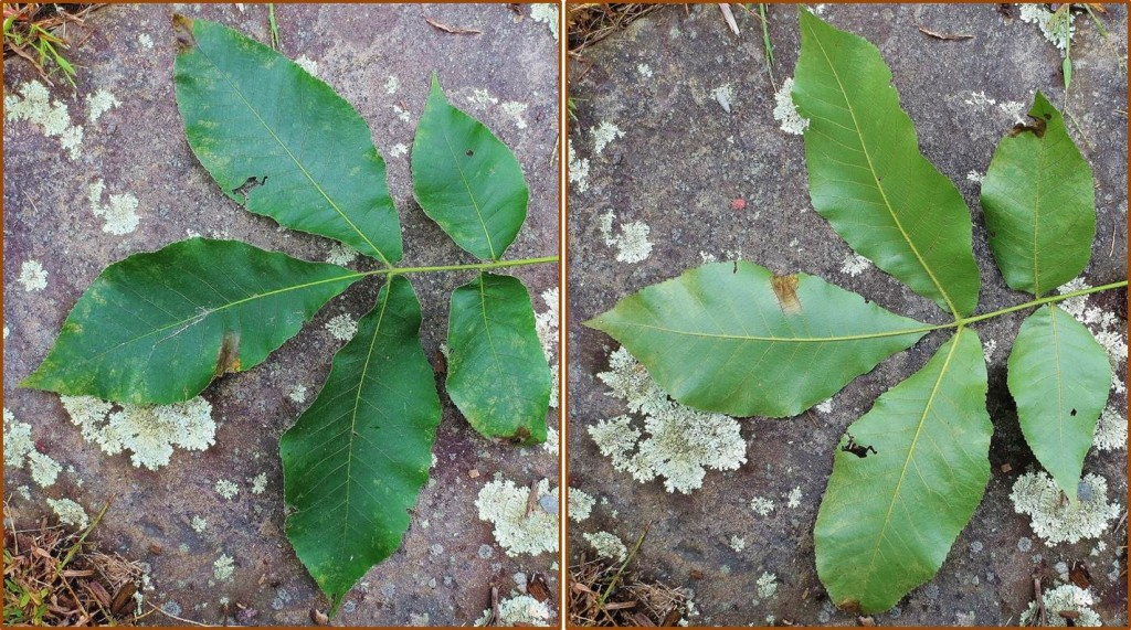 Compound leaves of shagbark hickory. Top on left, underside on right. Each leaf consists of 5 leaflets (sometimes 7). Pignut hickory leaves are similar.