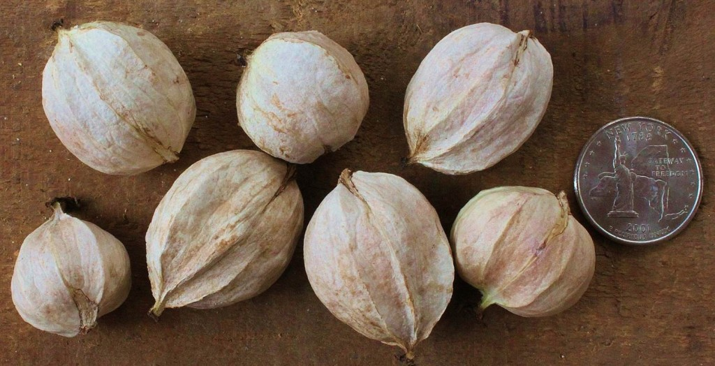 Shagbark hickory nuts with husks removed