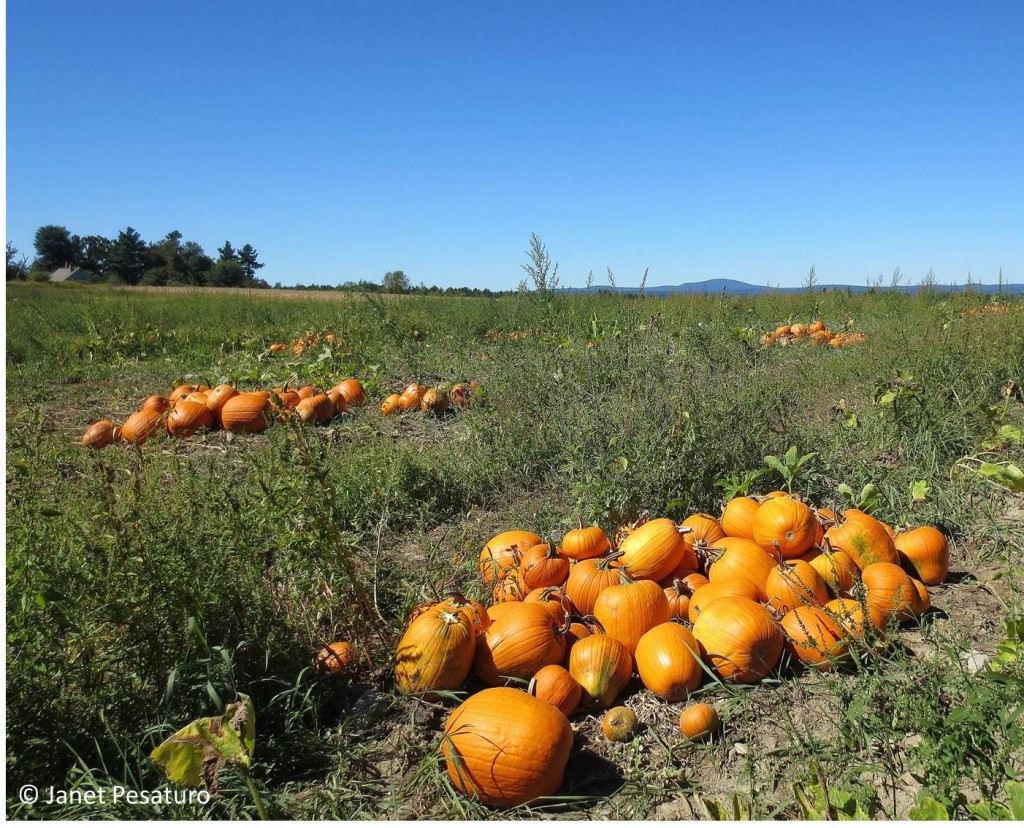 Pumpkins have been placed in piles, waiting to be sold and carved into Jack o'lanterns