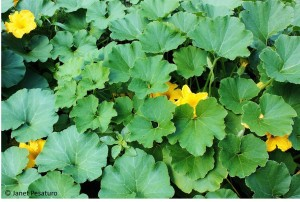 Lush, healthy winter squash plants in mid-summer