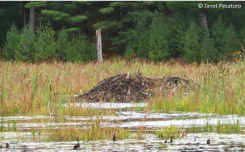 This beaver lodge built of branches is well plastered with mud.