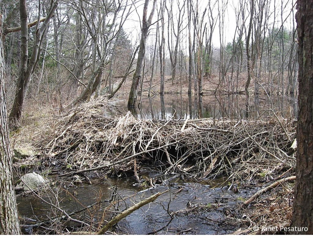 Look behind the beaver dam to see the new pond. The trees in that pond will gradually die and eventually fall.