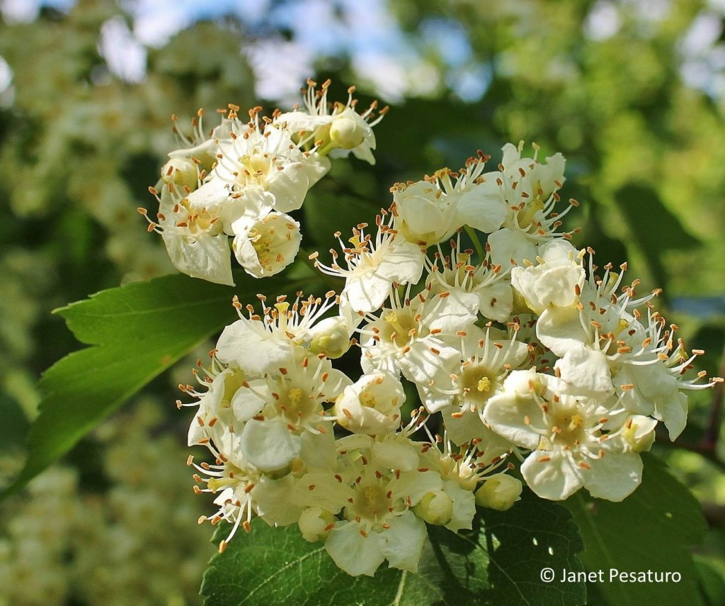 Hawthorn Berries: Identify, Harvest, and Make and Extract. Photo shows flowers of Washington hawthorn.