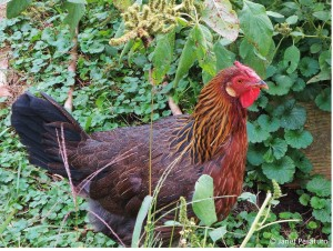 This hen's bumblefoot was successfully treated with TricideNeo last year.