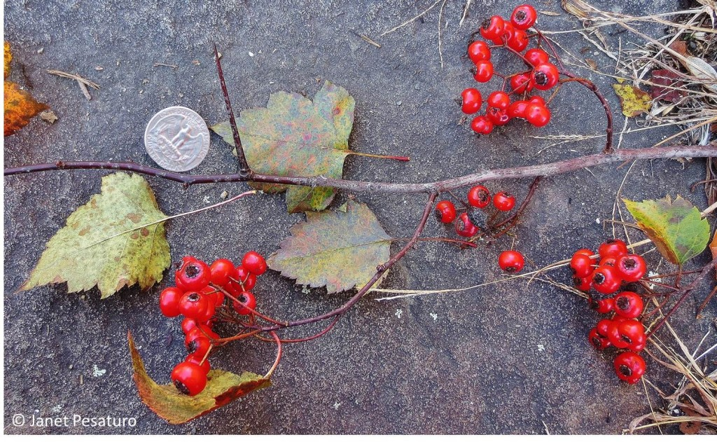 Washington hawthorn (Crataegus phaenopyrum): berries, leaves, and thorns