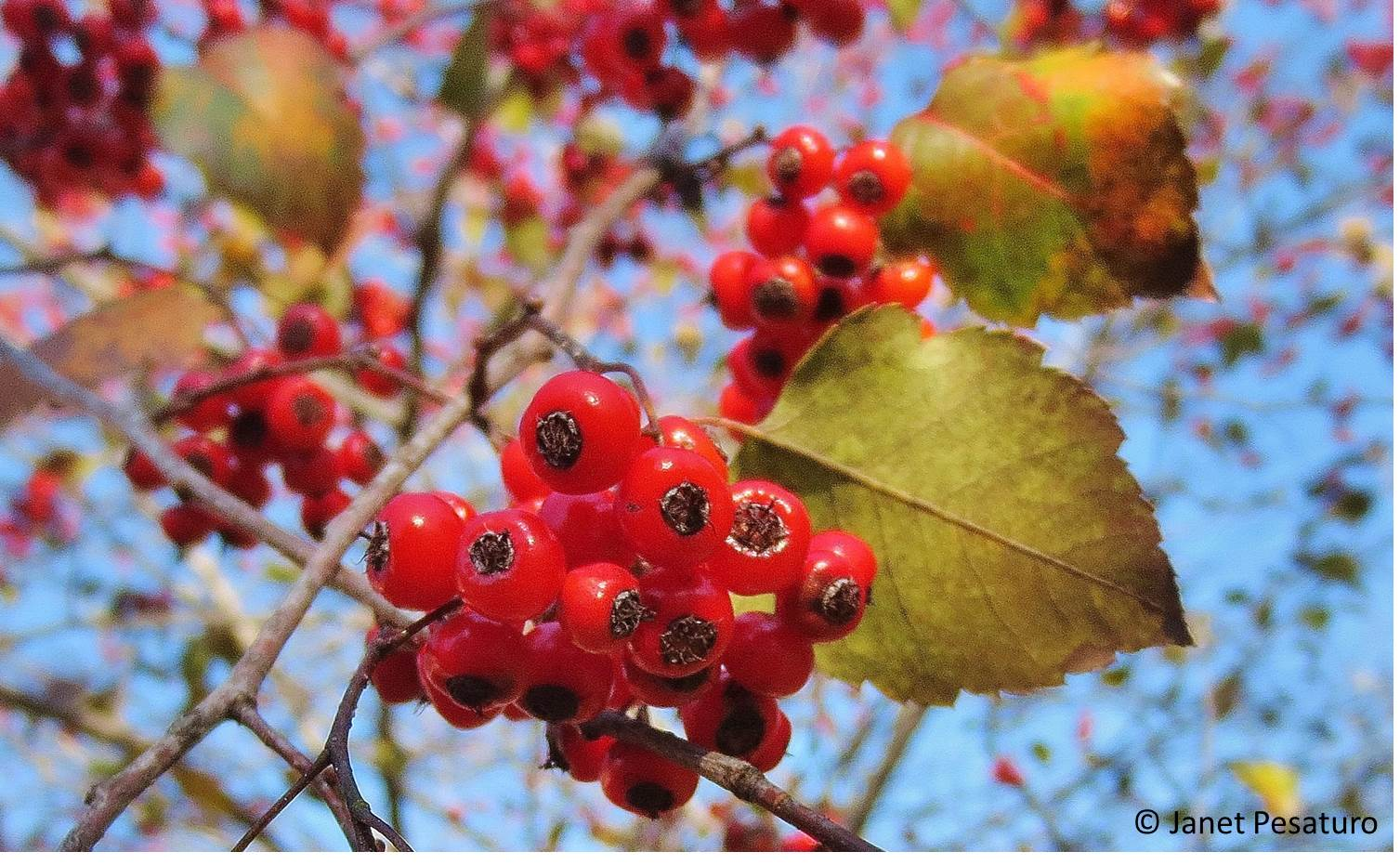Hawthorn berries identify harvest and make an extract