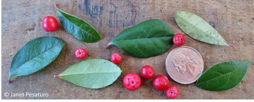 Wintergreen leaves and berries, with quarter for scale