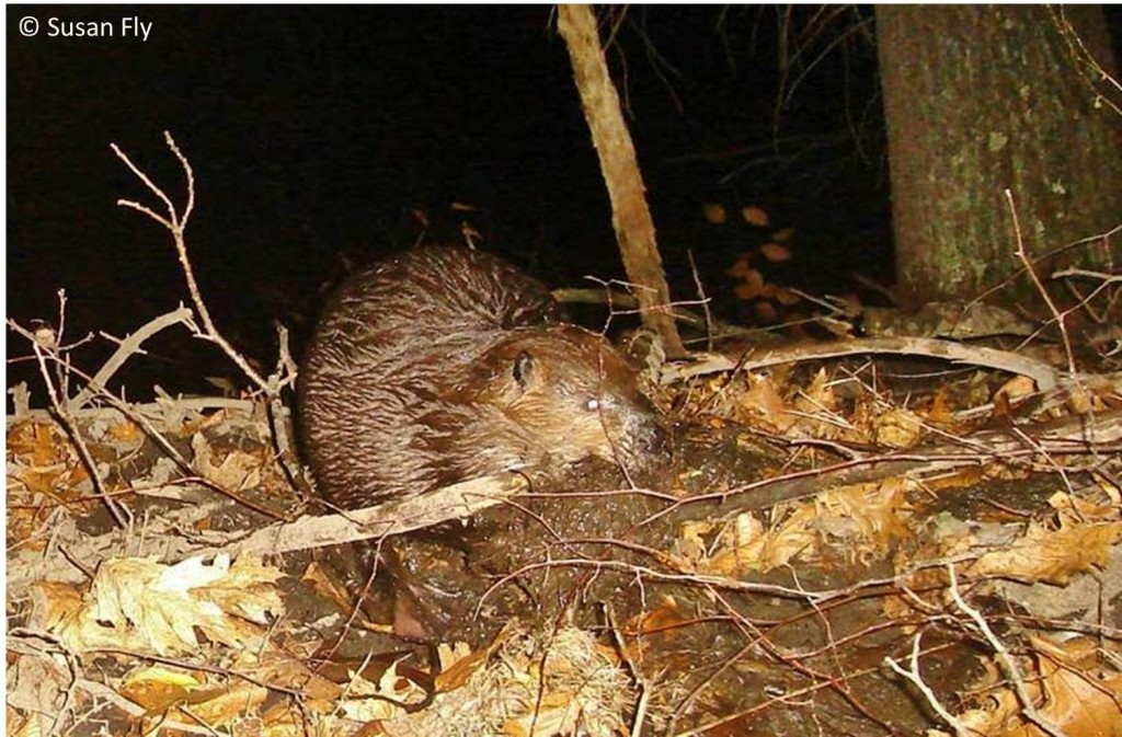 Beaver at work on land, taken by remote camera in Massachusetts