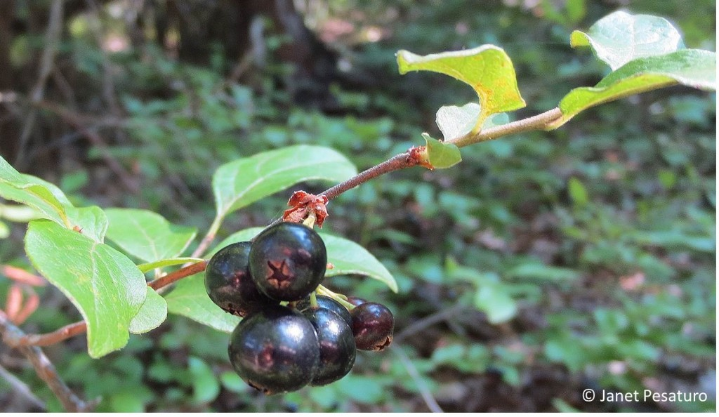 Wild huckleberries and blueberries of all kinds are common in my area, so I gather a lot of them every summer. This is black huckleberry, Gaylussacia baccata.