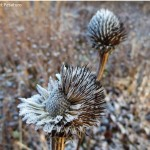 Seed head of purple coneflower