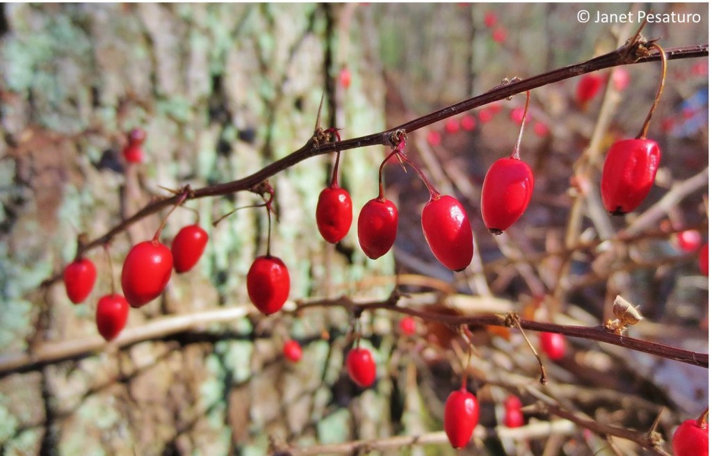 Japanese barberry, Berberis Thunbergii, is invasive in parts of the US, but the berries make an excellent jelly, and the boiling process kills the seeds.