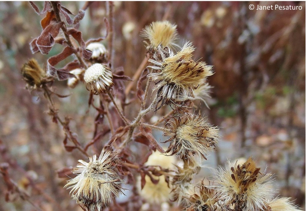 New England aster seed heads.