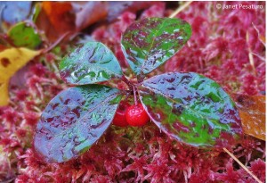 Wintergreen growing in a mat of pink sphagnum moss