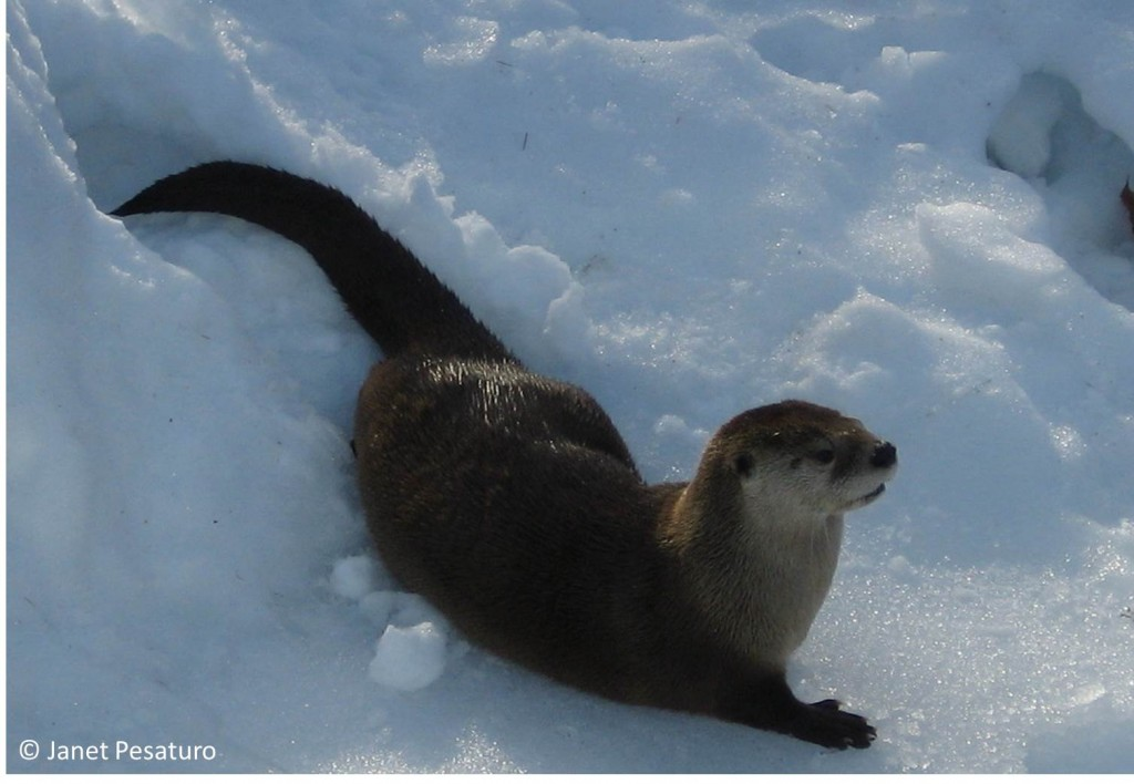 North American river otter, Lontra canadensis, in captivity. Learn the basics of river otter tracks and sign in this article, so you can track them in the wild.