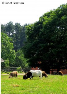 A billy goat shares a pasture with a flock of sheep at a small farm in Massachusetts.