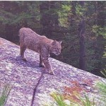 Bobcat photographed by wildlife camera in central MA