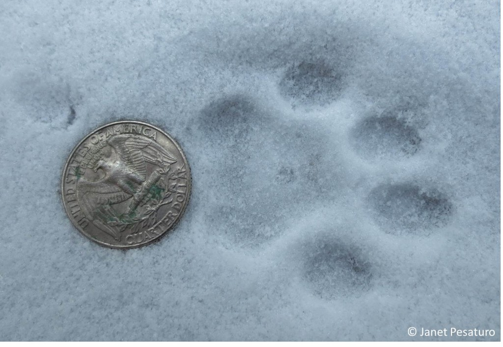 Clear bobcat tracks like this one are always exciting to find.