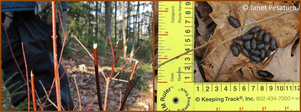 Left: ragged ends of the twigs are sign of deer or moose feeding. Right: deer scat
