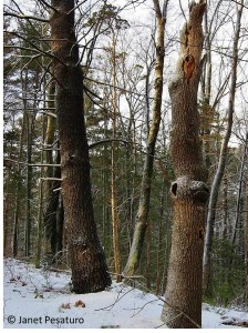 Large diameter snags like this are valuable to many species, so wildlife friendly foresters usually leave them standing.