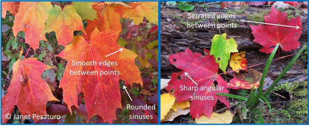 Sugar maple leaves (left) have rounded sinuses and smooth edges between the main points. Red maple leaves (right) have angular sinuses and serrated edges.