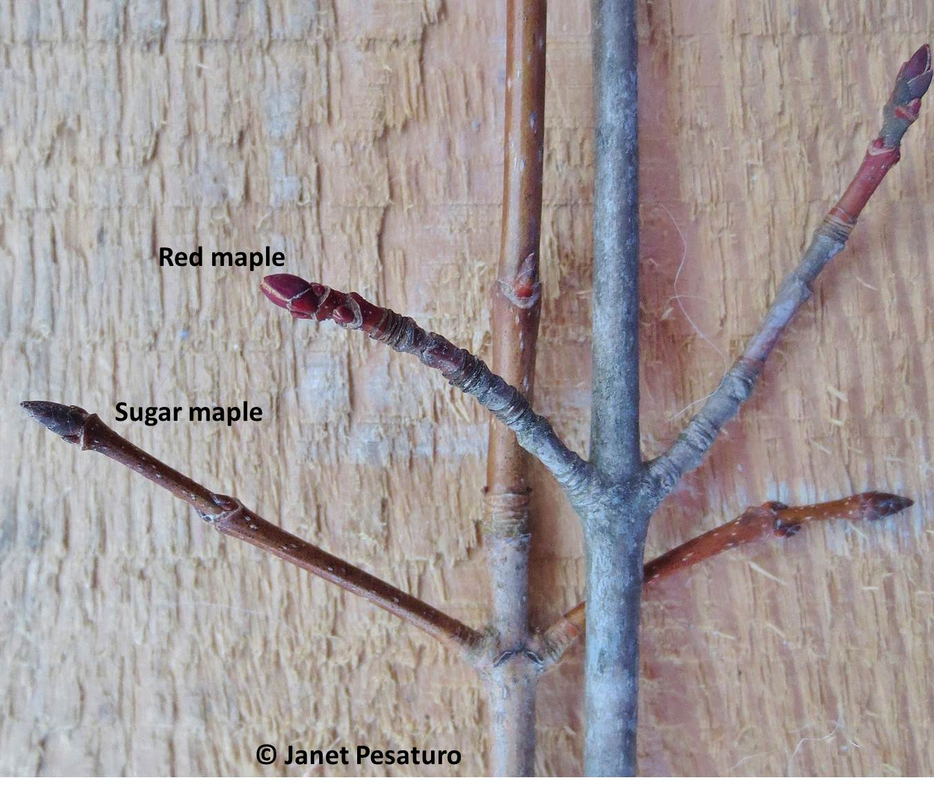 How do you identify types of maple trees?